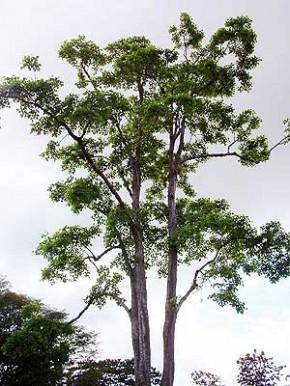 Tratamiento Fitosanitario a Árbol Adulto